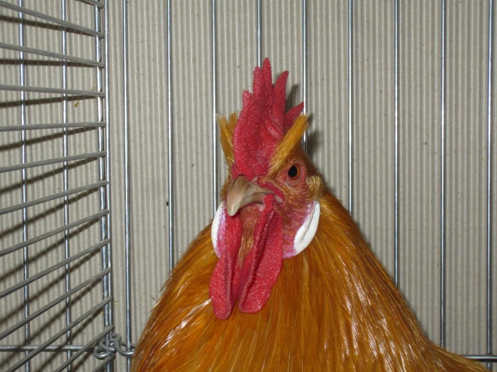 rheinländer hühner züchter
